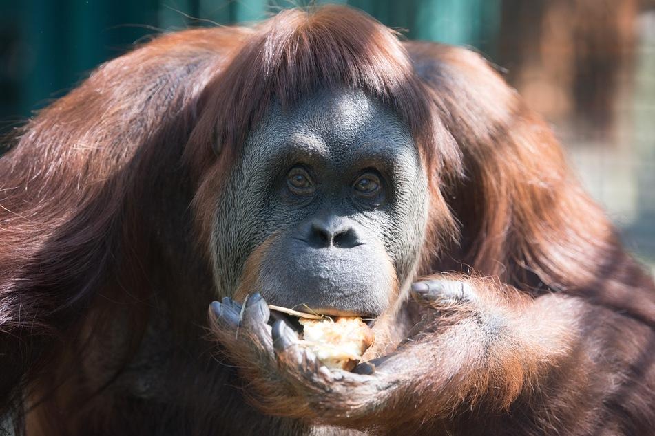 Die Orang-Utan-Dame Djaka frisst in ihrem Gehege im Zoo einen Gemüse- und Obstkuchen. In Dresden wurden am ersten Wochenende seit den neuesten Lockerungen am 6. Juni bis zu 5000 Tickets täglich verkauft.