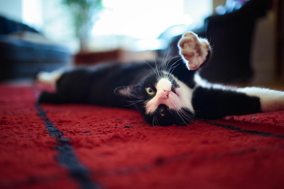 """Hauskatzen können ihre Besitzer ganz schön in den Wahnsinn treiben. Die App soll verraten, wofür welches """"Miau"""" steht."""