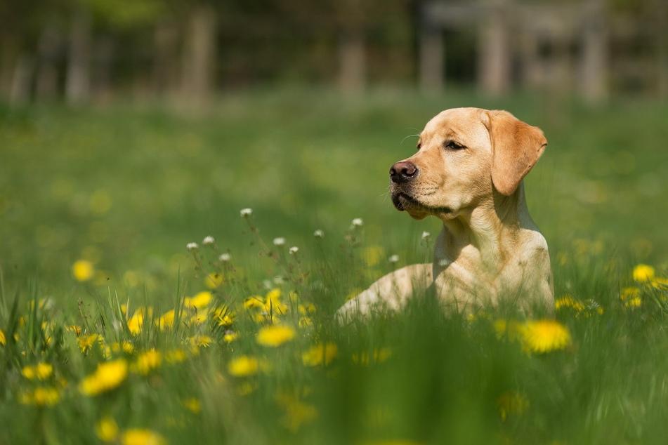 Einfach nur im Gras liegen und die Nase in die Luft halten - Für Hunde gibt's im Sommer wohl kaum was Schöneres.