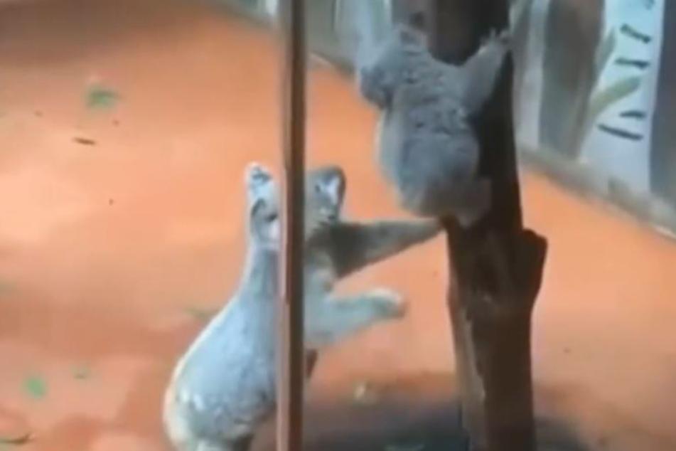 Was hatte die Mutter des Koalabären vor?