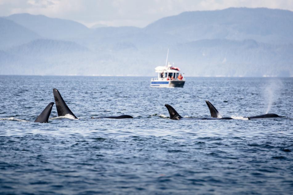 Sie gelten als friedlich: Mehrere Orcas rammen und beschädigen Yacht