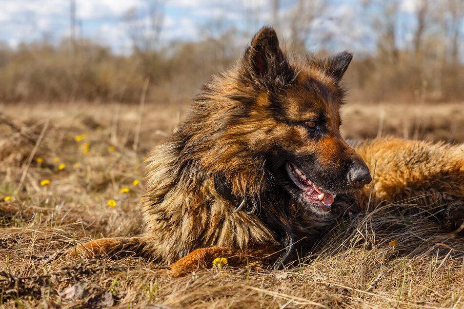 In der Nacht auf Sonntag wurde ein Hund zum Retter in der Not. (Symbolbild)