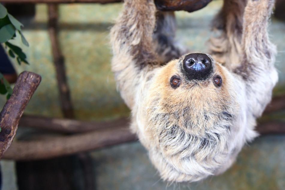 Große Trauer im Zoo Halle: Ältestes Faultier der Welt gestorben