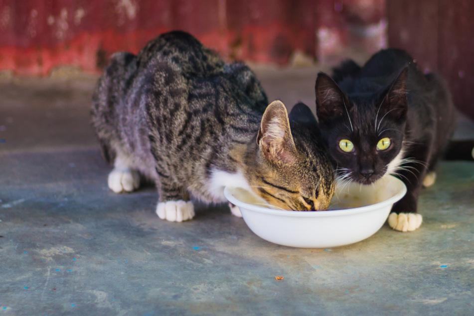 Eure Katze frisst zu viel und zu schnell? Das könnt Ihr dagegen tun!