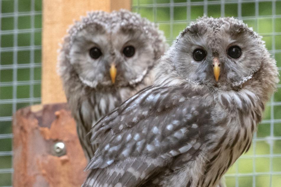 Flauschige Eule galt als ausgestorben: Elf Tiere finden neue Heimat