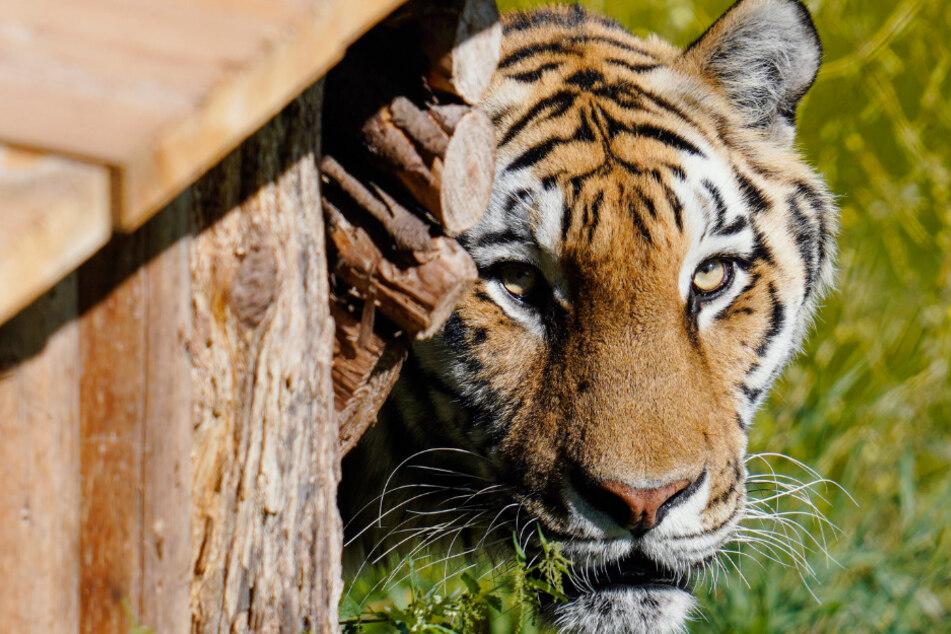 Grausiger Fund: Polizei entdeckt in Wein eingelegten Tiger