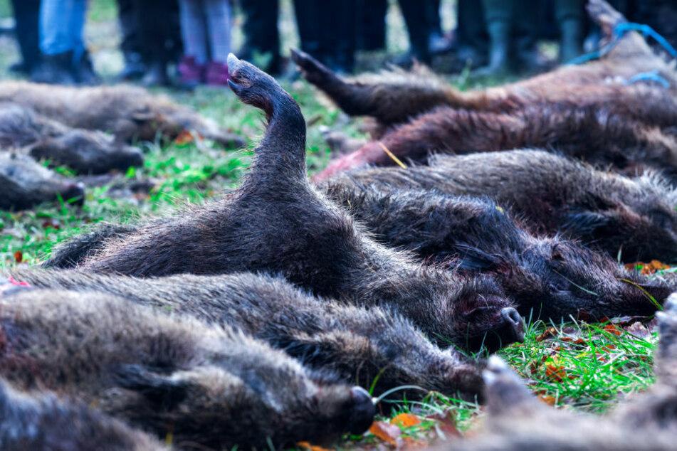 Bauernverband informiert über Lage bei Afrikanischer Schweinepest