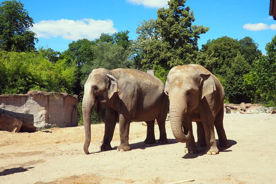 Die beiden Elefanten-Damen Hoa und Trinh haben im Saarland ihr neues Zuhause gefunden.