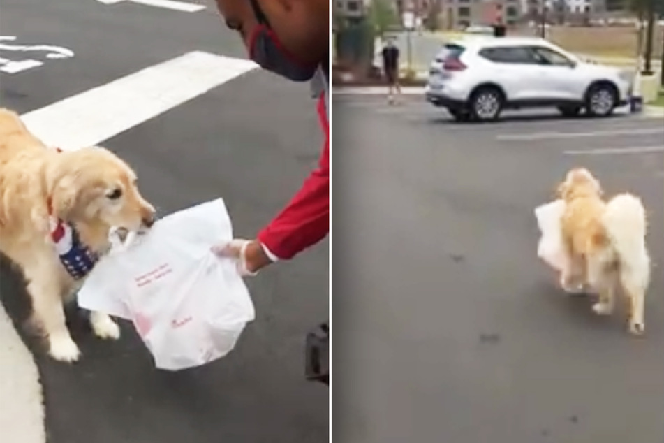 Doggy delivery: retriever regularly fetches take outs for owner