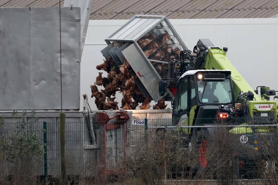 Nach einem Ausbruch der Vogelgrippe in einem Nutztierbestand im Landkreis Märkisch-Oderland mussten fast 17.000 Enten getötet werden. (Symbolfoto)