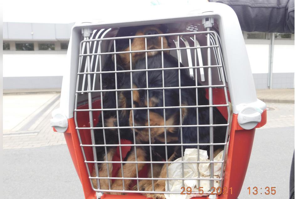 Zwei beschlagnahmte Hundewelpen in einer Transportbox.