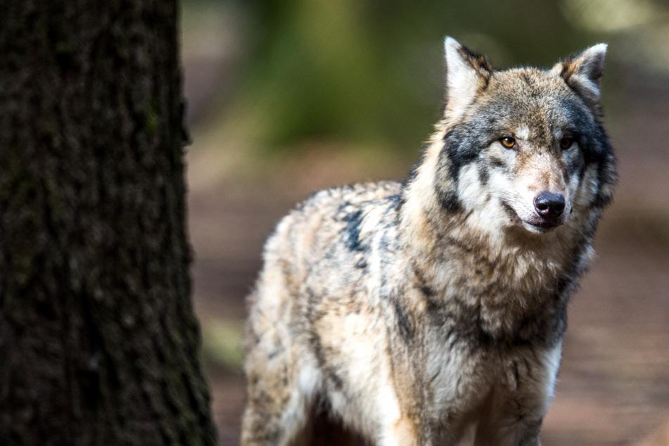 Unfall A4: Lkw erfasst Wolf auf der A4: Tier stirbt noch vor Ort