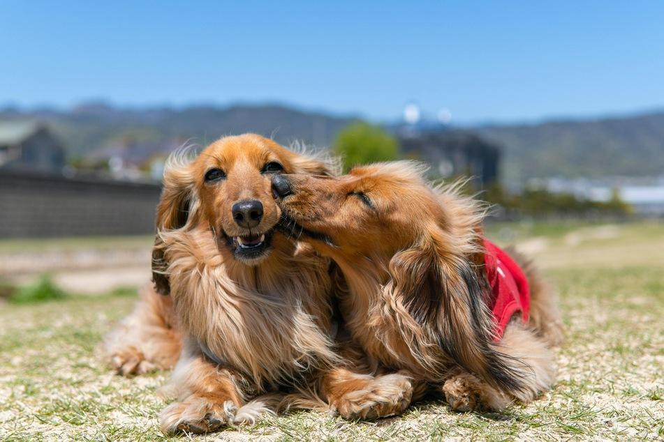 Lässt man den Hunden ausreichend Zeit, können sie unzertrennliche Freunde werden.