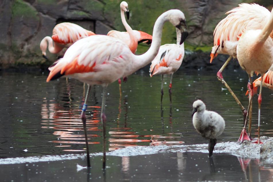 Mini-Flamingos geschlüpft: Flauschiger Nachwuchs im Zoo Leipzig