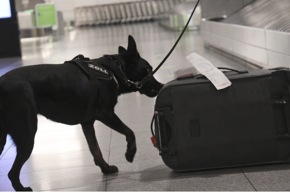Hund Bella riecht an einem Koffer am Stuttgarter Flughafen.