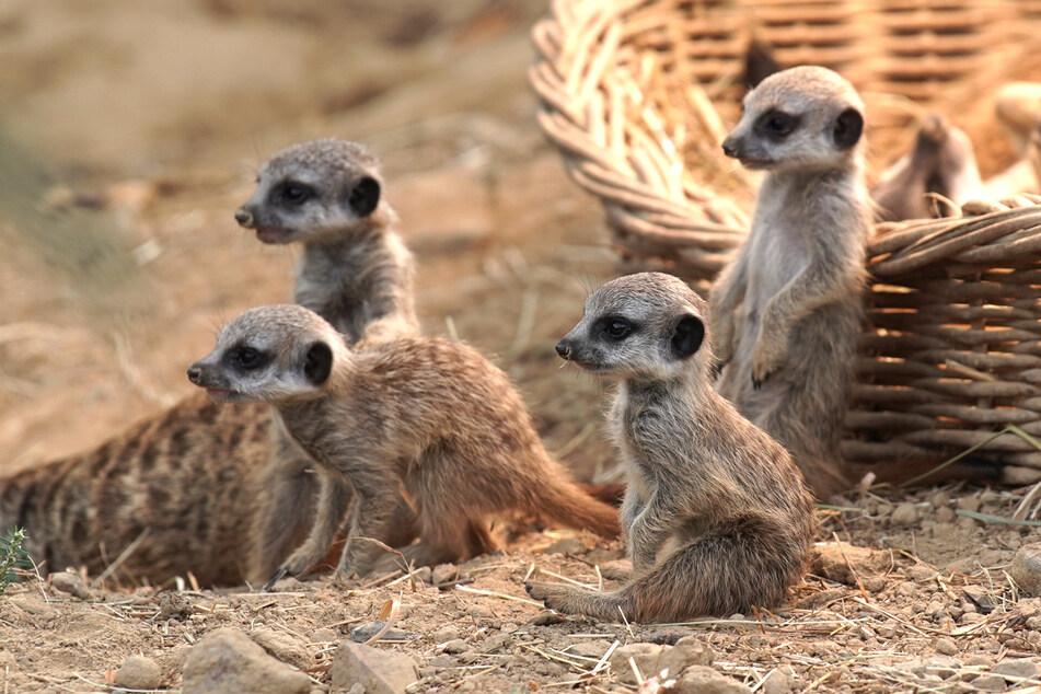 Die Erdmännchen im Kölner Zoo können ab Dienstag (5. Mai) wieder besucht werden (Archivbild).