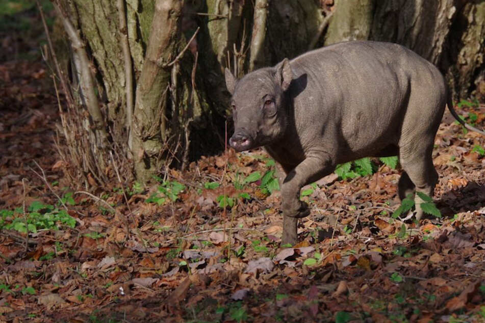 Tierliebhaber trauern: Seltene Hirscheber an Krankheit gestorben