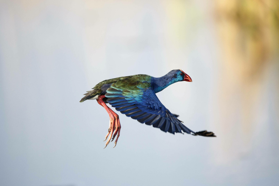 Purple gallinules are known for their striking blue feathers and long toes.