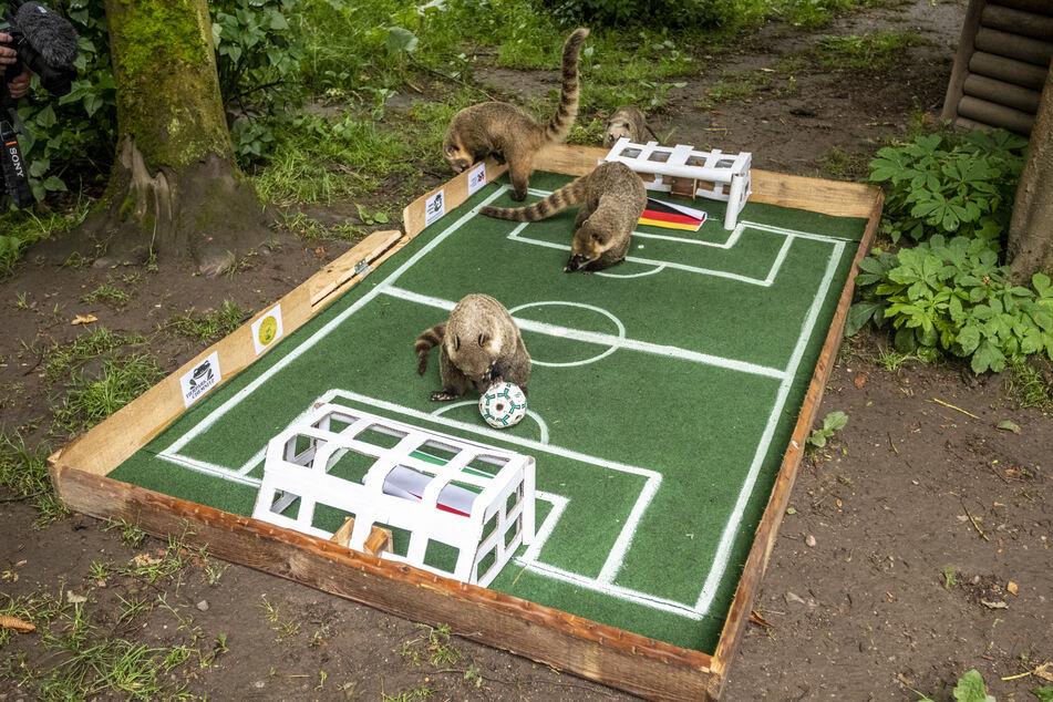 Die Tierchen konnten sich für keins der beiden Tore entscheiden.