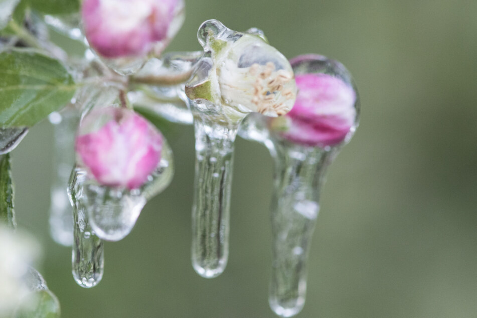 Frost sorgt für Unruhe bei den Obstbauern am Bodensee