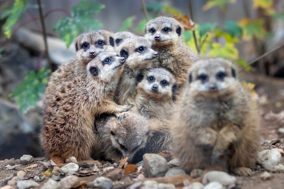 Die neugierigen Erdmännchen im Chemnitzer Tierpark vermissen die Besucher.