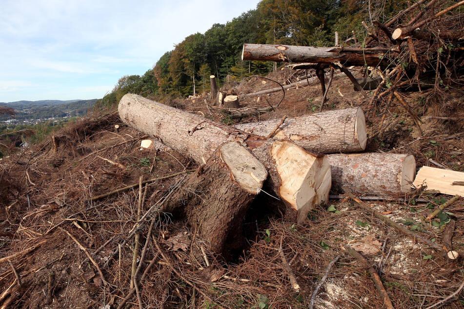 Borkenkäfer schaden dem Wald in NRW: Trockenheit ein großes Problem