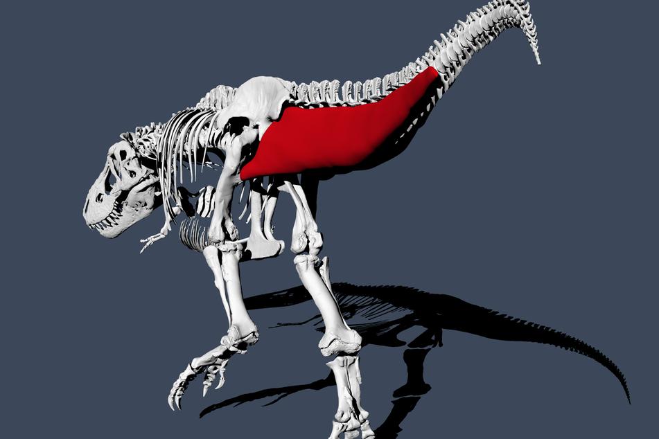 An der Schwingfrequenz des Schwanzes konnten die Wissenschaftler abmessen, wie schnell ein Tyrannosaurus früher unterwegs war.