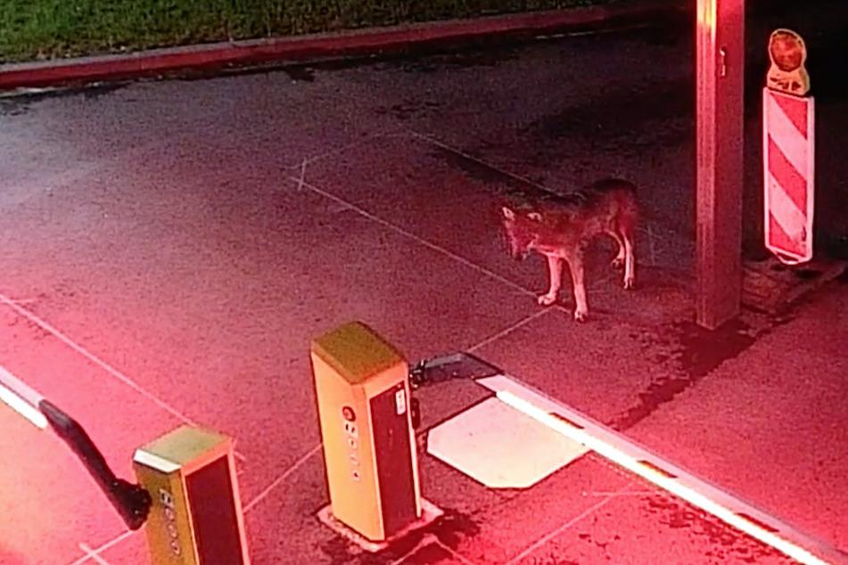 Der Wolf wurde am 19. Mai 2021 in Köln gesichtet und gefilmt.
