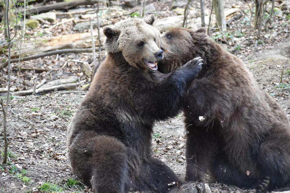 Die Bären werden sich über die Renovierung ihrer Anlage sicher freuen.