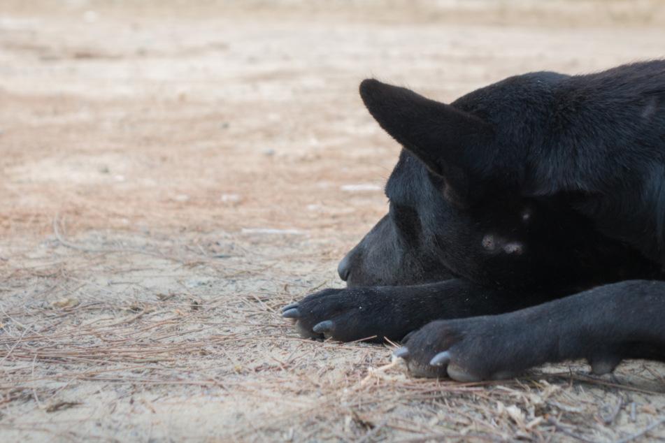 Der schwarze Hund von Philip Thomas (60) wurde Opfer sexuellen Missbrauchs. (Symbolbild)