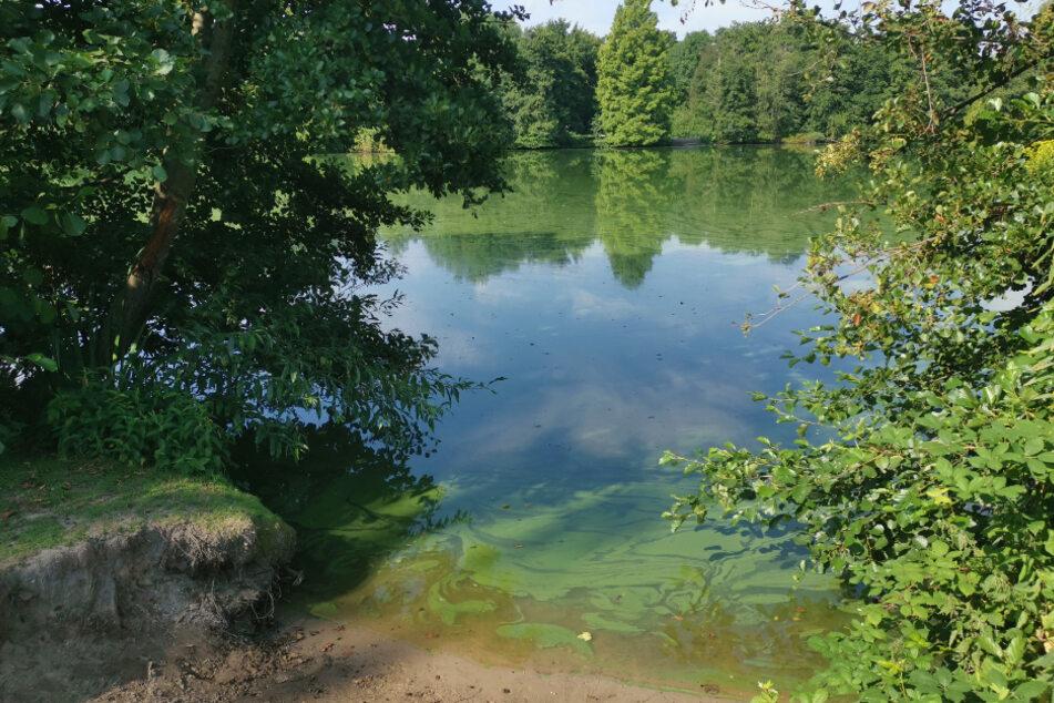 Ein Blaualgen-Teppich schwimmt auf dem Jenfelder Moor in Hamburg.