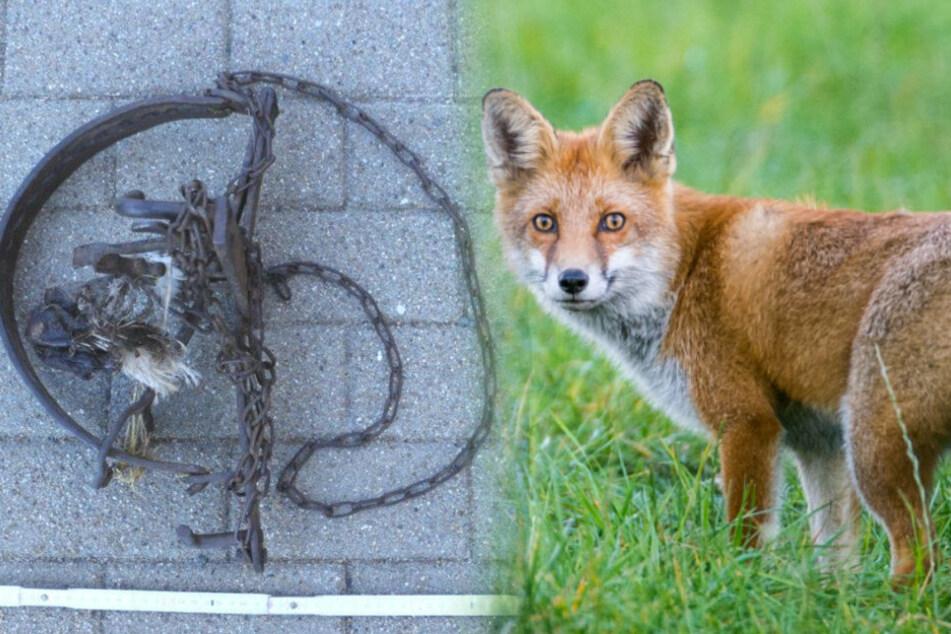 Fuchs qualvoll gefangen: Tierquäler legen Tellereisen aus