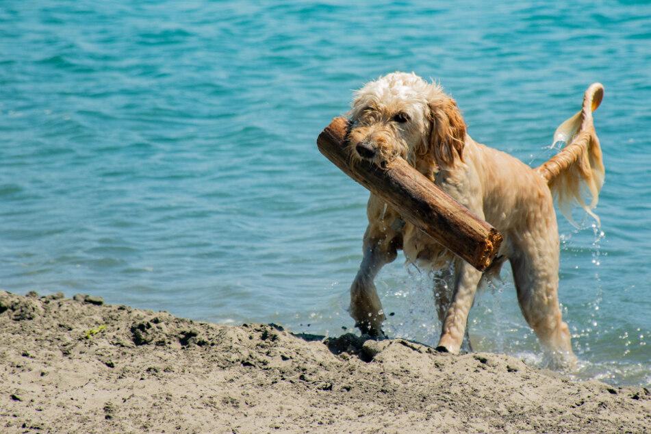 Mit dem Hund am Strand: Was gibt es zu beachten?