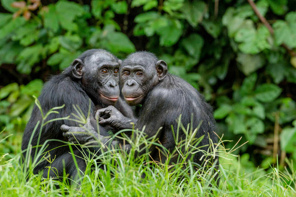 Bonobos are more closely related to humans than they are to gorillas (stock image).
