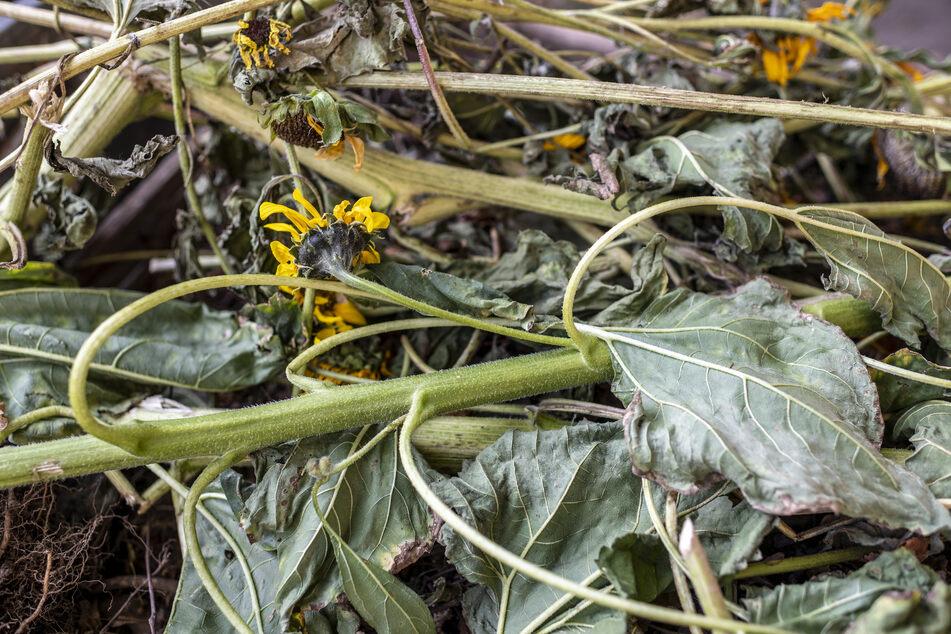 Die Randalierer zerstörten ein Beet, zertrampelten die Sonnenblumen.