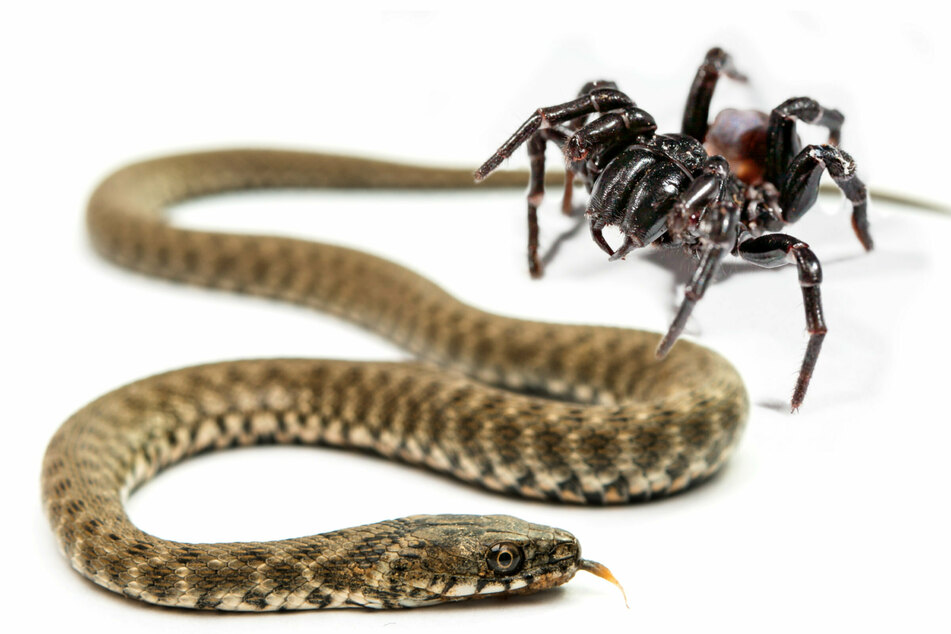 New study reveals spiders sometimes snack on snakes