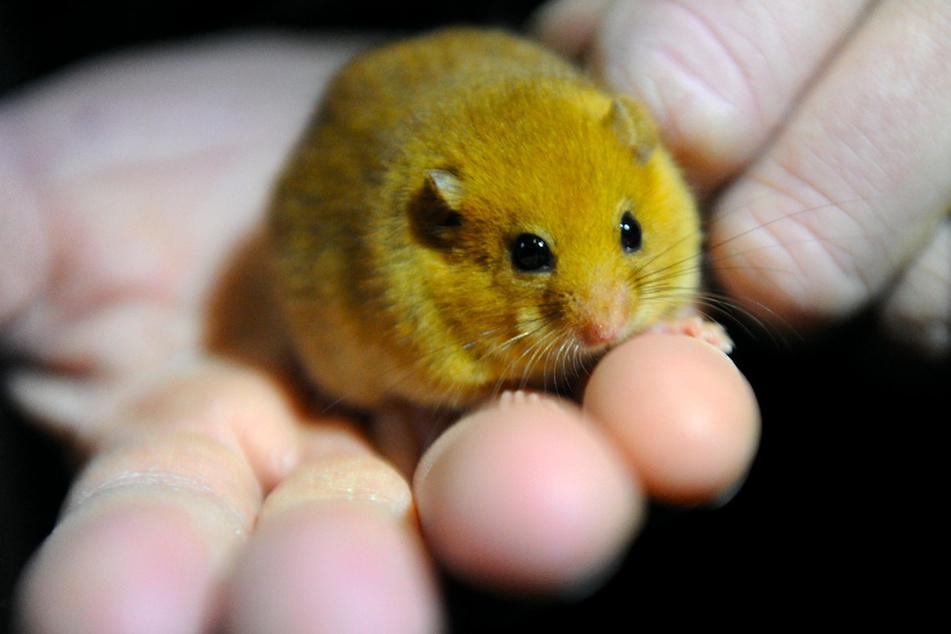 Eine kleine Haselmaus sitzt auf einer Hand. Die Tiere sind streng geschützt.