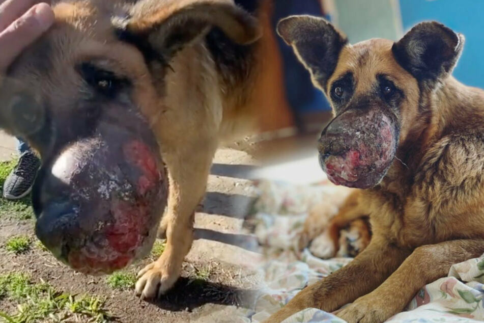 Dog finds a kind home despite gruesome tumor