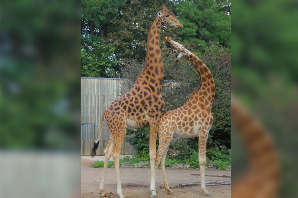 Auch bei der Giraffenliebe klappt es bislang nicht mit dem Nachwuchs.