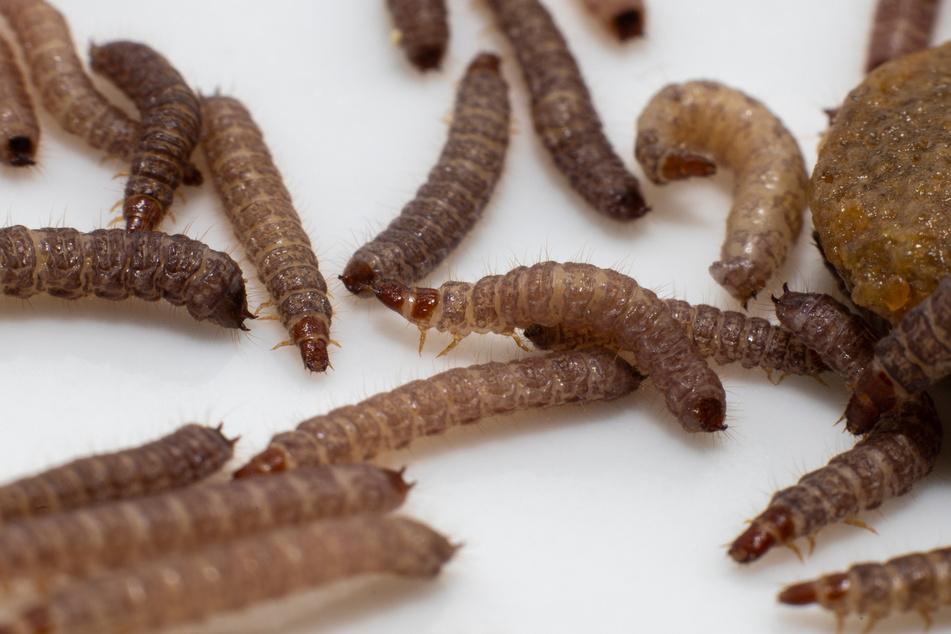 Anhand der gefundenen Insekten können Experten Rückschlüsse zum Todeszeitpunkt ziehen.