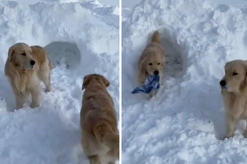 Der Hund Murphy (l) rennt begeistert in den Tunnel einer Schneehöhle. Als er wieder rauskommt, trägt er plötzlich einen blauen Schal zwischen den Zähnen.