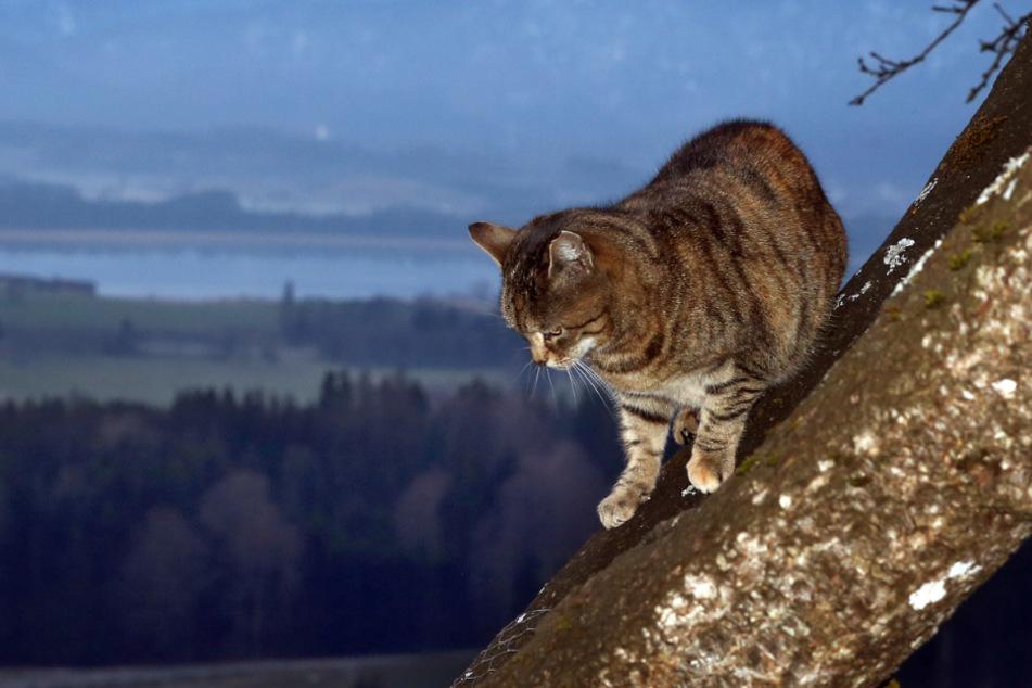Die Katze kletterte offenbar auf einen Baum und kam ohne fremde Hilfe nicht mehr herunter. Die Polizei rückte an. (Symbolbild)