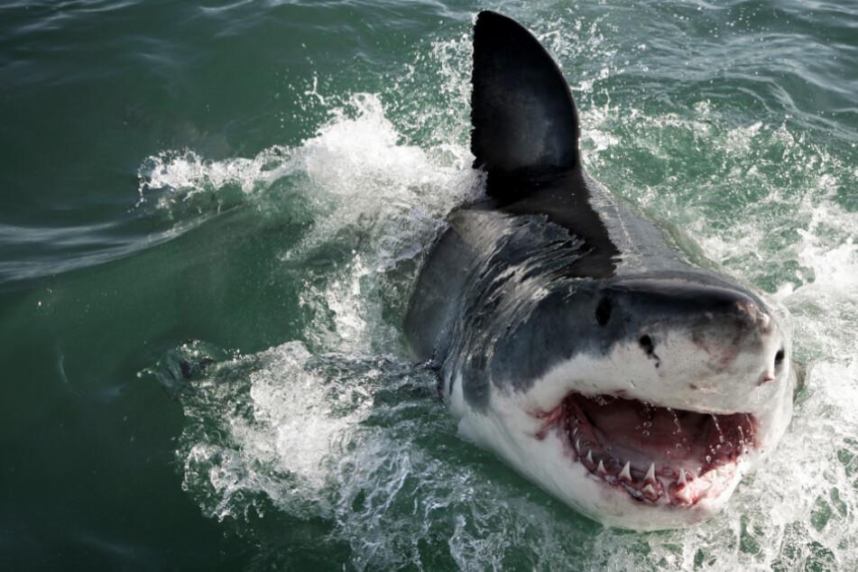 Hai attackiert Mann und Jungen: Beide verlieren Körperteile!