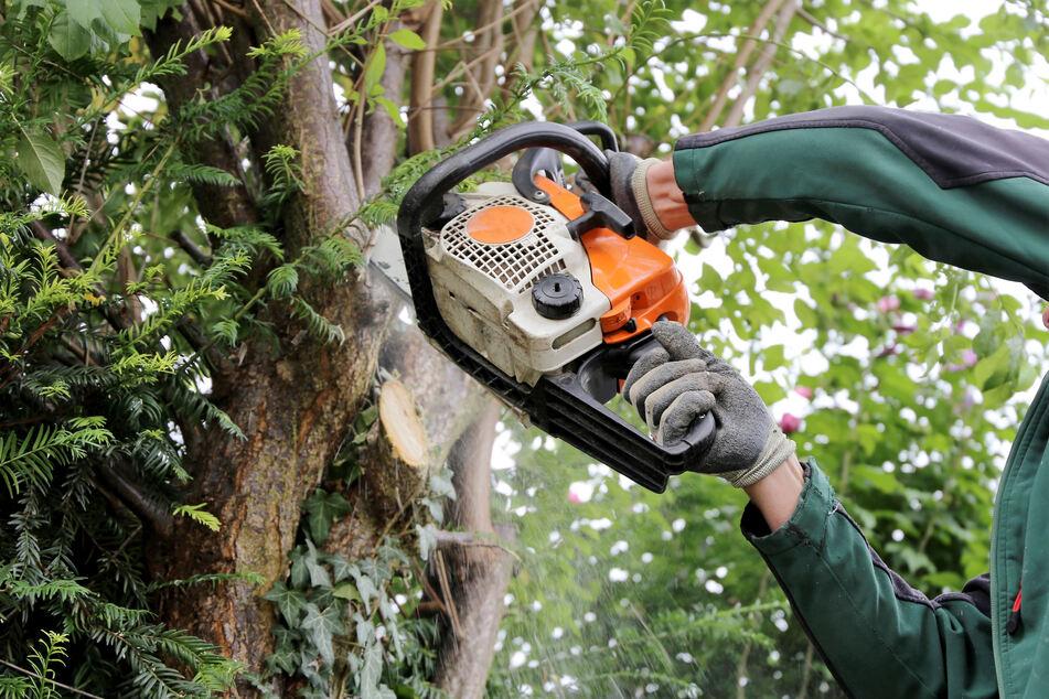 Mehrere Bäume in Zwickau illegal gefällt