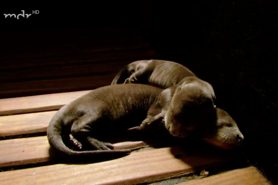 Zwei der kleinen Riesenotter-Babys beim Kuscheln in der warmen Aufzuchtbox.