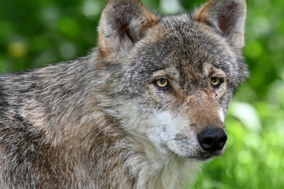 Neues Wolfsgebiet in Deutschland: Hier leben die Tiere in NRW