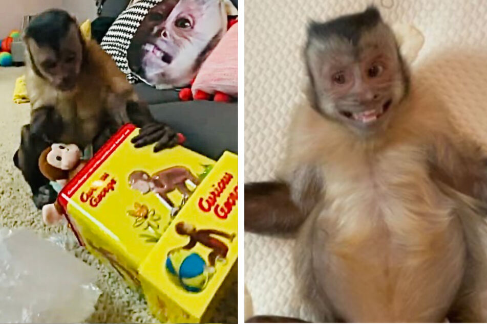 Real-life Curious George is monkeying around on TikTok