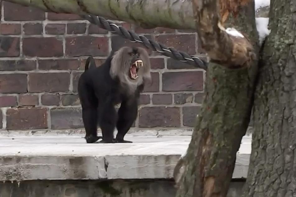 Nett geht aber anders: Bartaffe Yenur zeigte seinen neuen Mitbewohnerinnen erstmal die Zähne.