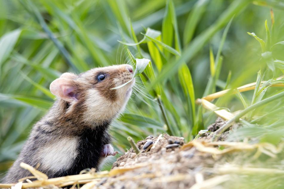 Feldhamster leben in Hamsterbauten.