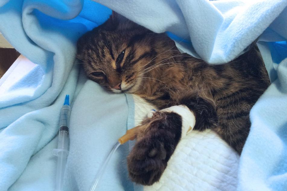 Eine Katze ist Opfer einer illegalen Falle geworden und musste operiert werden. (Symbolbild)